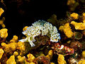 Elysia crispata (Lettuce Sea Slug).jpg