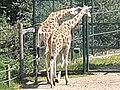 Em - Giraffa camelopardalis rothschildi - 7.jpg