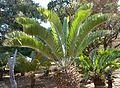 Encephalartos longifolius, kroon, Waterberg.jpg