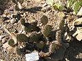 Engelmann Cactus.JPG