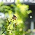 Entopia by Penang Butterfly Farm - Flickr - Ah Wei (Lung Wei).jpg