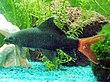 Epalzeorhynchos bicolor.jpg