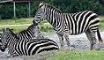 Equus quagga boehmi 0zz.jpg