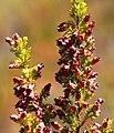 Erica blandfordia 15659176.jpg