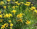 Ericameria linearifolia 2.jpg