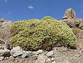 Eriogonum heermannii var sulcatum 15.jpg