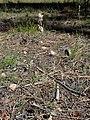 Eriogonum racemosum kz05.jpg