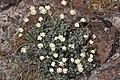 Eriogonum thymoides 1922.JPG