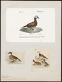 Erismatura leucocephala - 1700-1880 - Print - Iconographia Zoologica - Special Collections University of Amsterdam - UBA01 IZ17700167.tif