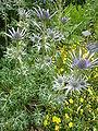 Eryngium bourgatii (Umbelliferae) plant.JPG
