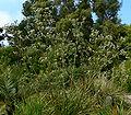 Eryngium paniculatum 1.jpg
