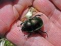 Escarabajo joya - Escarabajo estercolero (14837262576).jpg