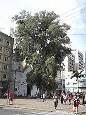 Eucalyptus globulus 1877.JPG
