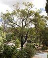 Eucalyptus sideroxylon (23991616815).jpg