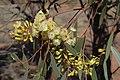 Eucalyptus thozetiana buds.jpg