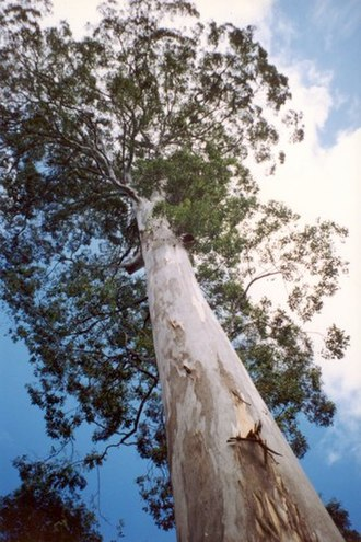 Woodford, New South Wales - Image: Eucalyptusdeanei Blue Mountains National Park