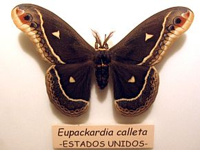 Description de l'image Eupackardia calleta.jpg.