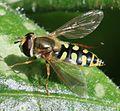 Eupeodes corollae (female) - Flickr - S. Rae.jpg