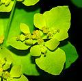Euphorbia epithymoides 02.jpg