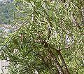 Euphorbia grandidens5 ies.jpg
