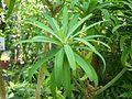 Euphorbia lambii im Botanischen Garten Erlangen.JPG