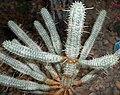 Euphorbia mammillaris f. variegata 2015-06-01 OB 215.jpg
