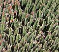 Euphorbia resinifera5 ies.jpg