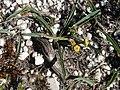 Euphorbia tuberosa hangklip 02.jpg