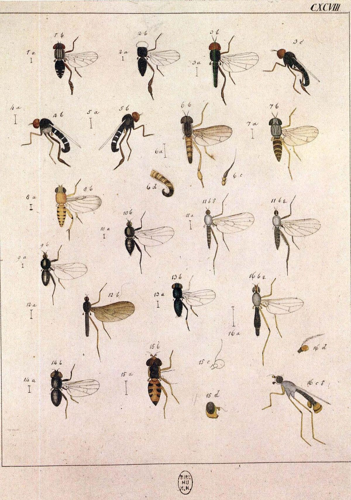 Callomyia Elegans