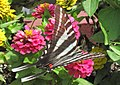 Eurytides marcellus (zebra swallowtail butterfly) on zinnias (Newark, Ohio, USA) 4 (42792346165).jpg