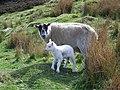 Ewe and lamb, Glen Dye - geograph.org.uk - 843326.jpg