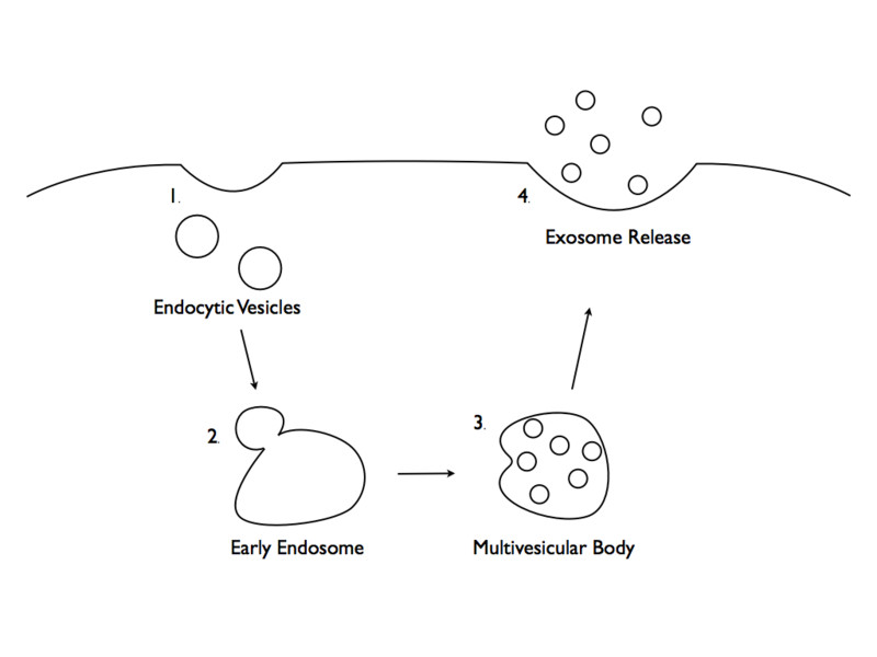 File:Exosome formation..tiff