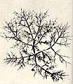 FMIB 52478 Chylocladia articulata.jpeg