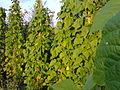 Fabales - Phaseolus vulgaris 1.jpg