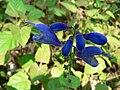 Fale - Giardini Botanici Hanbury in Ventimiglia - 623.jpg