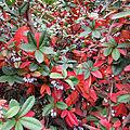 Fall leaf colour of Berberis julianae.jpg