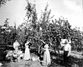 Family picking apples from tree in orchard, Yakima Valley, ca 1910s (INDOCC 1351).jpg