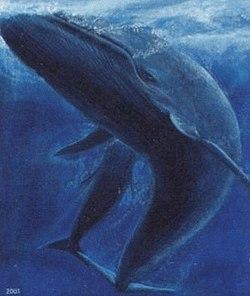 Faroe stamp 402 blue whale (Balaenoptera musculus) crop.jpg