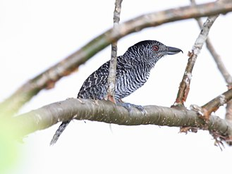 Fasciated antshrike - Male in Panama