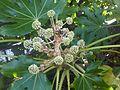 Fatsia japonica - wetland 2.jpg