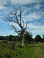Felbigg Estate Dead Oak Tree 29 July 2014.JPG