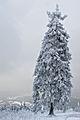 Feldberg Snowy Fir Tree.jpg