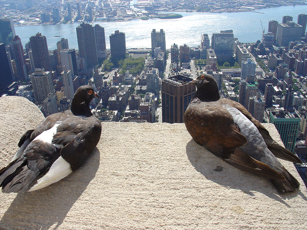 File Feral Pigeon Empire State Building New York City