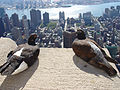 Feral pigeon -Empire State Building, New York City, USA-31Aug2008d.jpg