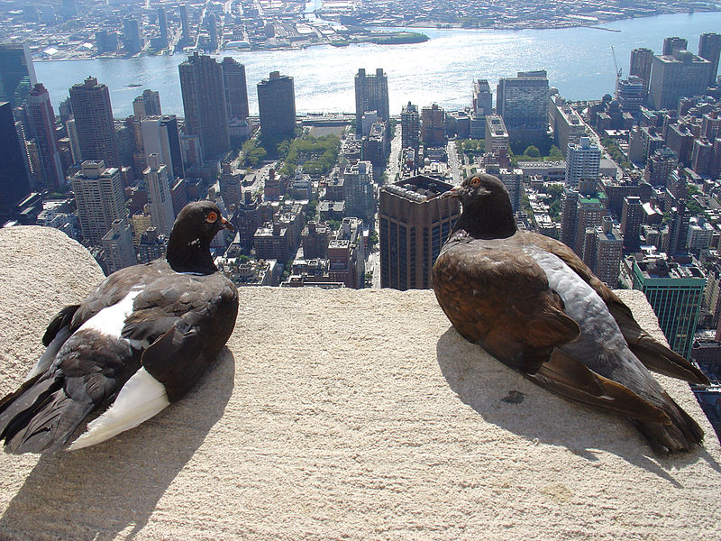 File:Feral pigeon -Empire State Building, New York City, USA-31Aug2008d.jpg