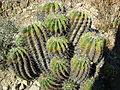 Ferocactus flavovirens (5753683467).jpg