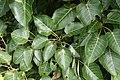 Ficus arnottiana 0620.jpg