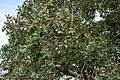 Ficus mollis in Keesaraguda, AP W IMG 9136.jpg