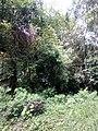 Ficustinctoriakerala 01.jpg