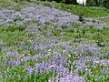 Field of lupine. (e9c91416ab23431b8cfb72681a39e7e7).JPG